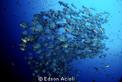 Atlantic spadefish in Recife, Pernambuco. by Edson Acioli 